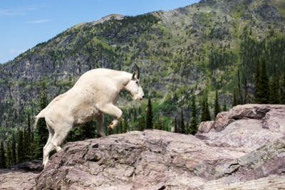 Mountain Goat Climbing Rocks in Glacier National Park, Montana by James White