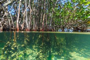 Over and under Shot of Mangrove Roots in Tampa Bay, Florida by James White