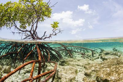 Over and under Water Photograph of a Mangrove Tree , Background Near Staniel Cay, Bahamas