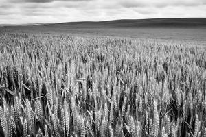 Palouse Wheat Field, Washington by James White