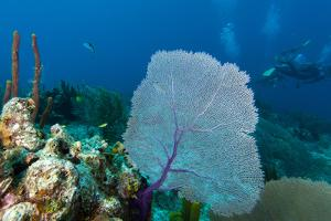 Purple Sea Fan (Gorgonia Ventalina) with Divers in Background by James White