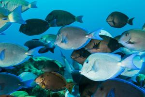 School of Purple and Blue Tangs Swim Off of Bonaire by James White