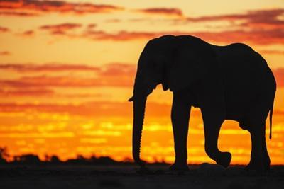 A Silhouette of a Large Male African Elephant Against a Golden Sunset
