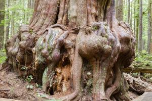 Canada, B.C, Port Renfrew, Avatar Grove, Ancient Red Cedar Tree by Jamie And Judy Wild
