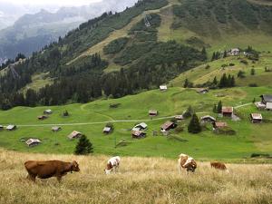Switzerland, Bern Canton, Murren, Cows Grazing in Alpine Pastures by Jamie And Judy Wild