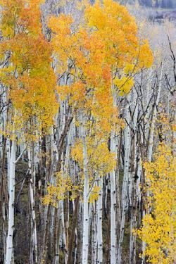 Utah, Dixie National Forest, Aspen Forest Along Highway 12 by Jamie And Judy Wild