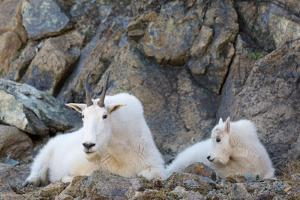 Wa, Alpine Lakes Wilderness, Ingalls Lake Area, Nanny Goat and Kid by Jamie And Judy Wild