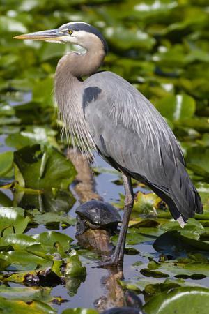 Wa, Juanita Bay Wetland, Great Blue Heron, Ardea Herodias