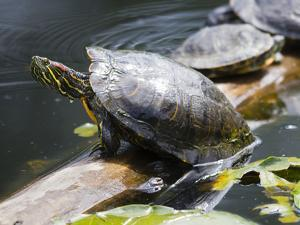 Wa, Juanita, Juanita Bay Wetland, Painted Turtles, Chrysemys Picta by Jamie And Judy Wild