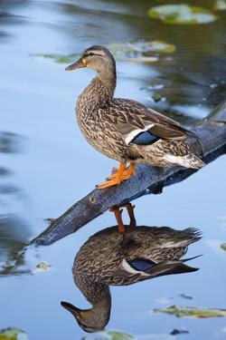 Wa, Mercer Slough, Mallard Female Duck, Anas Platyrhynchos by Jamie And Judy Wild