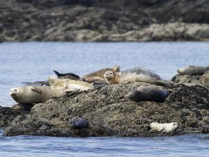 Wa, San Juan Islands, Haro Strait, Harbor Seals, Phoca Vitulina by Jamie And Judy Wild