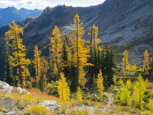 Wa, Wenatchee Nf, View from Maple Pass Trail, with Larch Trees by Jamie And Judy Wild