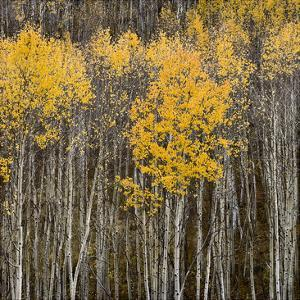 Aspen Trees 2 by Jamie Cook