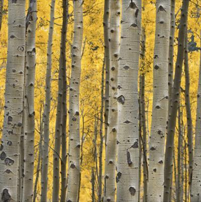 Aspen Trees 3 by Jamie Cook