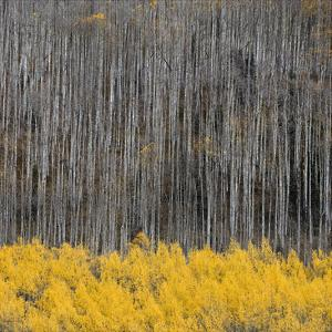 Aspen Trees 4 by Jamie Cook