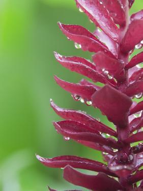 Brazil, Bahia, Trancoso, Pink Tropical Flower by Jamie Grill Photography