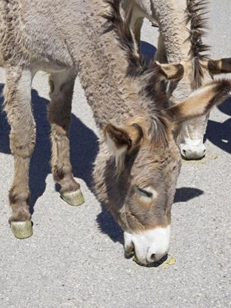 Arizona, Oatman, Route 66, old gold mining town, Wild Burros by Jamie & Judy Wild