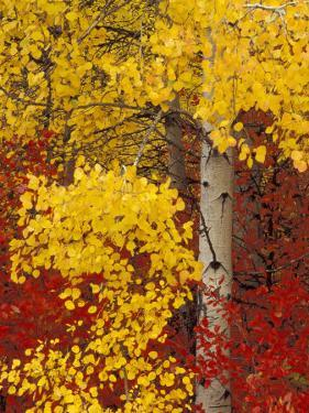 Aspen Trees with Golden Leaves, Wenatchee National Forest, Washington, USA by Jamie & Judy Wild
