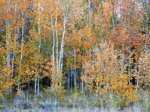 Aspens, Sawtooth National Recreation Area, Idaho, USA by Jamie & Judy Wild