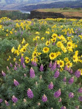 Balsam Root Meadow with Lupine, Columbia River Gorge, Oregon, USA by Jamie & Judy Wild