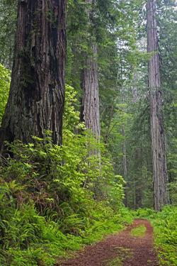 California, Del Norte Coast Redwoods State Park, Damnation Creek Trail and Redwood trees by Jamie & Judy Wild