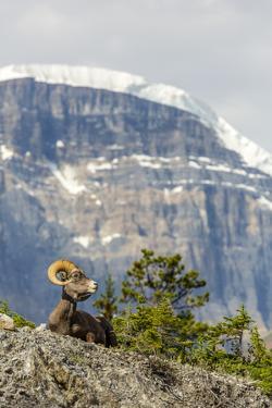 Canada, Alberta, Jasper NP, Bighorn Sheep Ram (Ovis Canadensis) by Jamie & Judy Wild