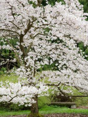 Cherry Trees Blossoming in the Spring, Washington Park Arboretum, Seattle, Washington, USA by Jamie & Judy Wild