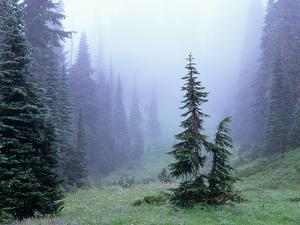 Fir Trees and Fog, Mt. Rainier National Park, Washington, USA by Jamie & Judy Wild