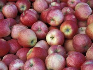 Freshly Picked Gala Apples, Monitor, Washington, USA by Jamie & Judy Wild