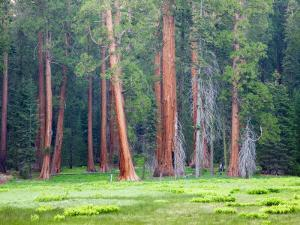 Giant Sequoia Trees, Round Meadow, Sequoia National Park, California, USA by Jamie & Judy Wild