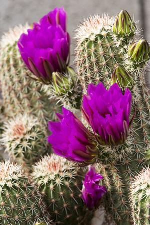 Hedgehog Cactus, Arizona-Sonora Desert Museum, Tucson, Arizona, USA by Jamie & Judy Wild