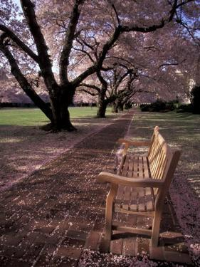 Japanese Cherry Trees at the University of Washington, Seattle, Washington, USA by Jamie & Judy Wild