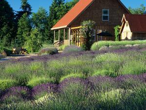 Lavender Field and Gift Shop, Sequim, Washington, USA by Jamie & Judy Wild