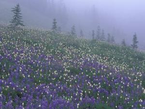 Lupine and Foggy Bistort Meadow, Mt. Rainier National Park, Washington, USA by Jamie & Judy Wild