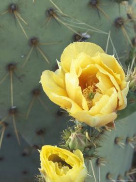 Prickly Pear Cactus Flower, Saguaro National Park, Arizona, USA by Jamie & Judy Wild