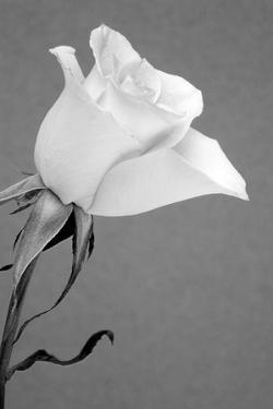 Rose. by Jamie & Judy Wild