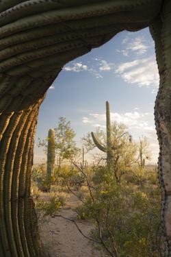 Saguaro Forest Saguaro National Park, Arizona, USA by Jamie & Judy Wild