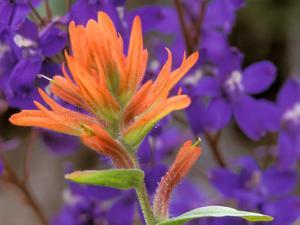 Scarlet Paintbrush and Larkspur, Olympic National Park, Washington, USA by Jamie & Judy Wild