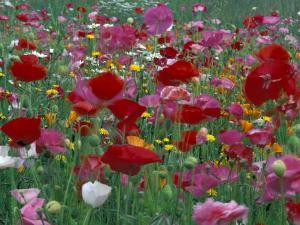 Shirley Mixed and California Poppy Field in Sequim, Washington, USA by Jamie & Judy Wild