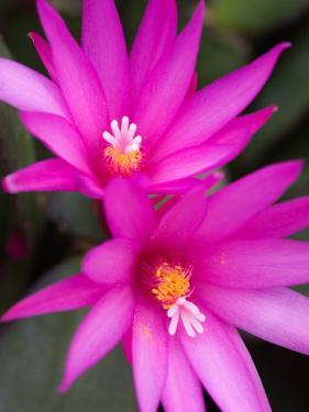 Sunrise Cactus Flowers by Jamie & Judy Wild