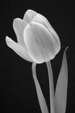 Tulip. by Jamie & Judy Wild