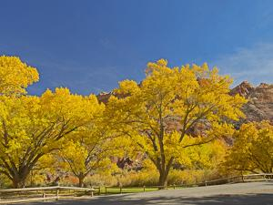 USA, Utah. Capitol Reef National Park, The Castle with Golden Fremont Cottonwood trees by Jamie & Judy Wild