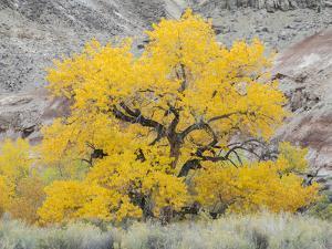 USA, Utah. Wayne County, The Blue Hills, Golden Fremont Cottonwood trees by Jamie & Judy Wild
