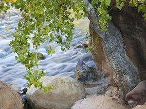 USA, Utah. Zion National Park, Cottonwood tree with the Virgin River by Jamie & Judy Wild