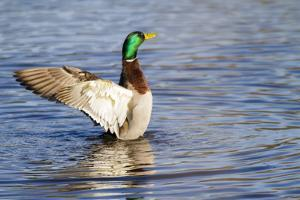 USA, WA, Jaunita Bay Wetlands, Mallard duck, male (Anas paltyrhynchos). by Jamie & Judy Wild