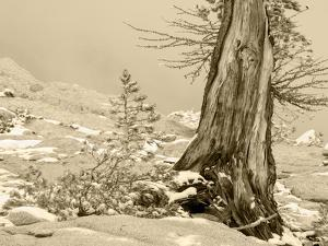 USA, Washington State. Enchantment lakes, larch trunk and fir tree. by Jamie & Judy Wild