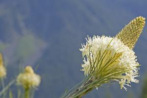 USA, Washington State. Mount Baker Snoqualmie National Forest, Beargrass by Jamie & Judy Wild