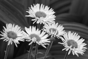 USA, Washington State. Mount Rainier National Park, aster fleabane or mountain daisy. by Jamie & Judy Wild