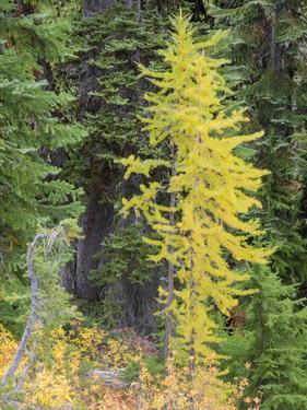USA, Washington State. Okanogan-Wenatchee National Forest, Colorful young Larch trees by Jamie & Judy Wild