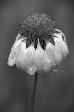 USA, Washington State, Redmond. Firewheel or Indian blanket, sunflower family. by Jamie & Judy Wild
